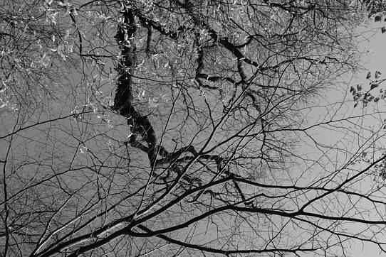 venation of branches and twigs