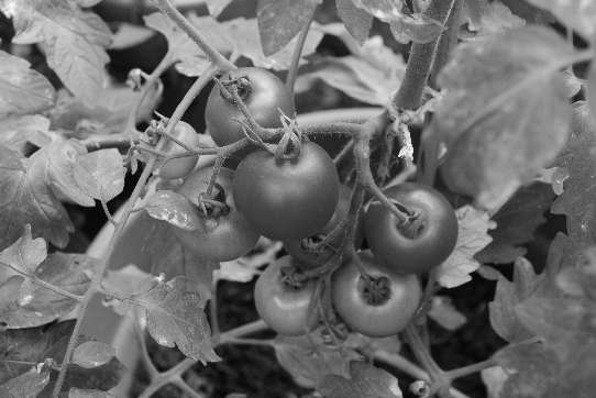 Tomatoes, which also grow in a clay pot